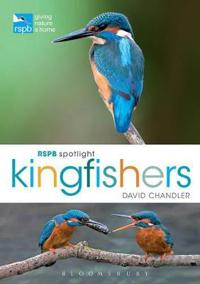 Spotlight Kingfishers