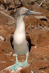 Blue-Footed Booby Bird on Galapagos Islands Journal: 150 Page Lined Notebook/Diary