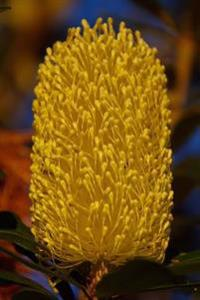 Banksia Plant in Australia Journal: 150 Page Lined Notebook/Diary