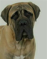 Bullmastiff: Artified Pets Journal/Notebook/Diary, 8 by 10 and 160 Pages