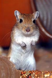A Fat Tailed Gerbil Pachyuromys Duprasi Animal Journal: 150 Page Lined Notebook/Diary