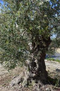 An Old Olive Tree on Pag Island Croatia Journal: 150 Page Lined Notebook/Diary
