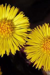 Pretty Coltsfoot (Tussilago Farfara) Flowers Journal: 150 Page Lined Notebook/Diary