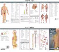 The Spinal Nerves & The Autonomic Nervous System