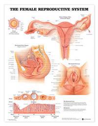 Female Reproductive System Chart